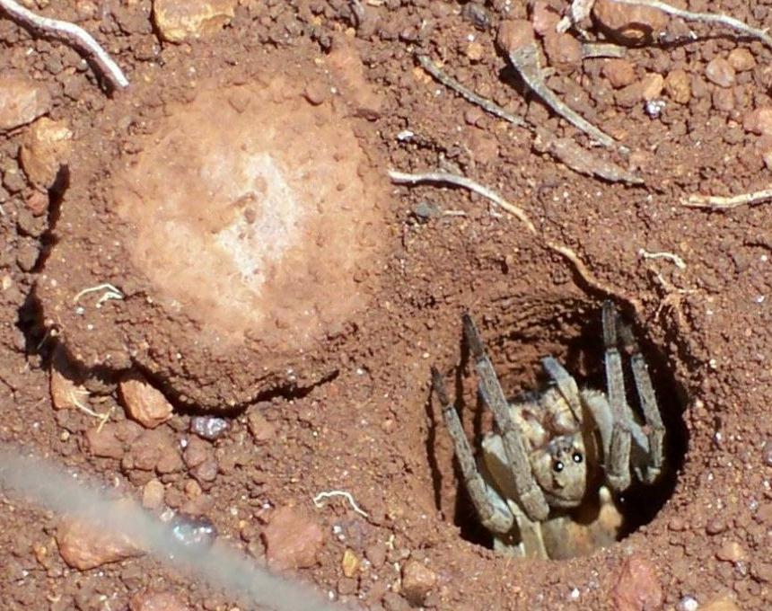 عنكبوت الباب المسحور Trapdoor_SpiderQLD.j