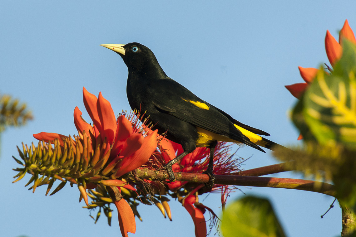 Yellow-rumped Cacique - Pantanal - Brazil H8O2199 (23593614830).jpg