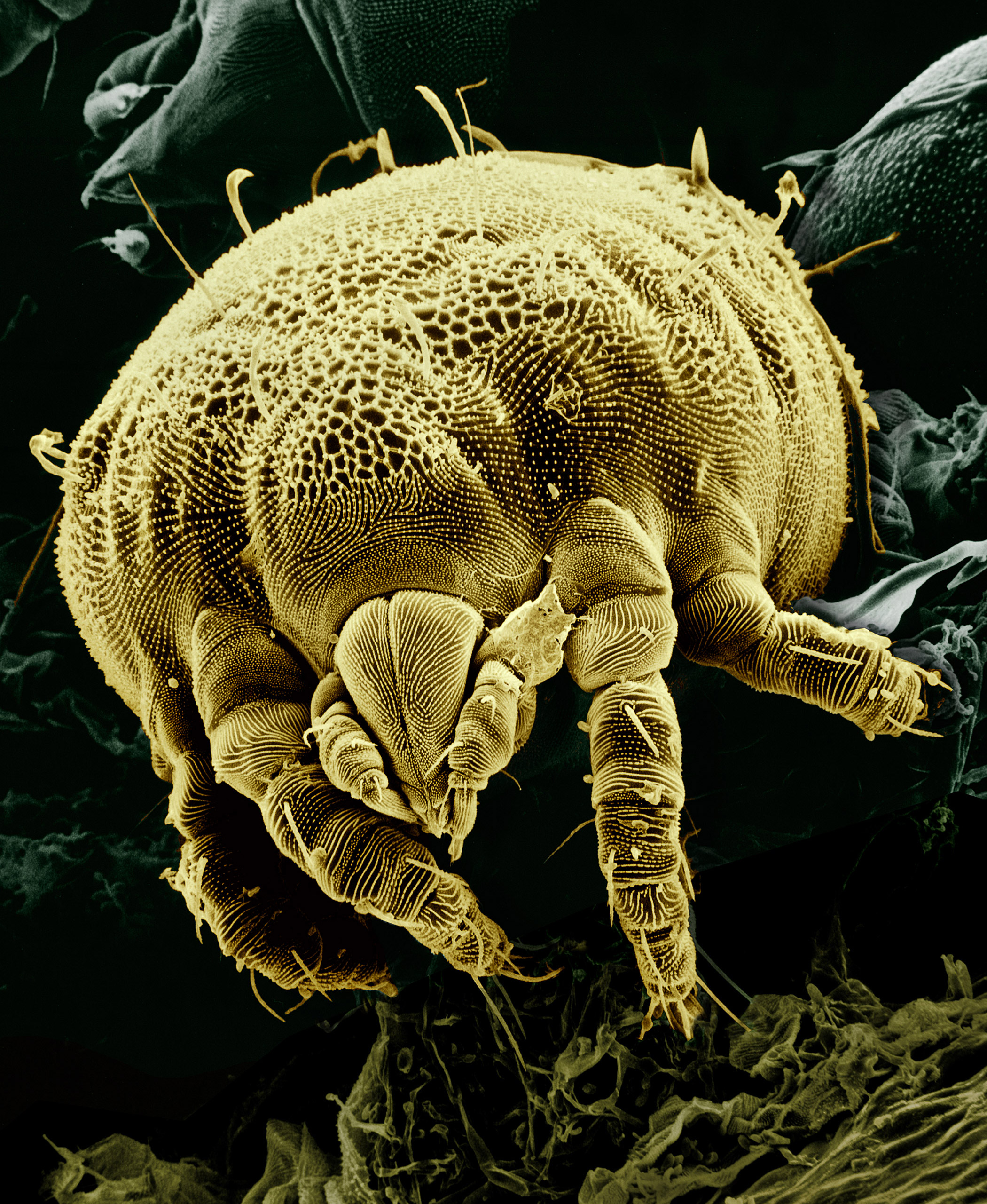 Yellow mite %28Tydeidae%29 Lorryia formosa 2 edit