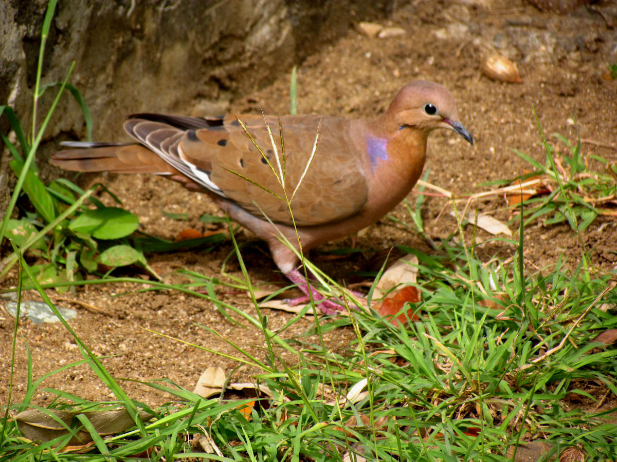 zenaida dove - photo #21
