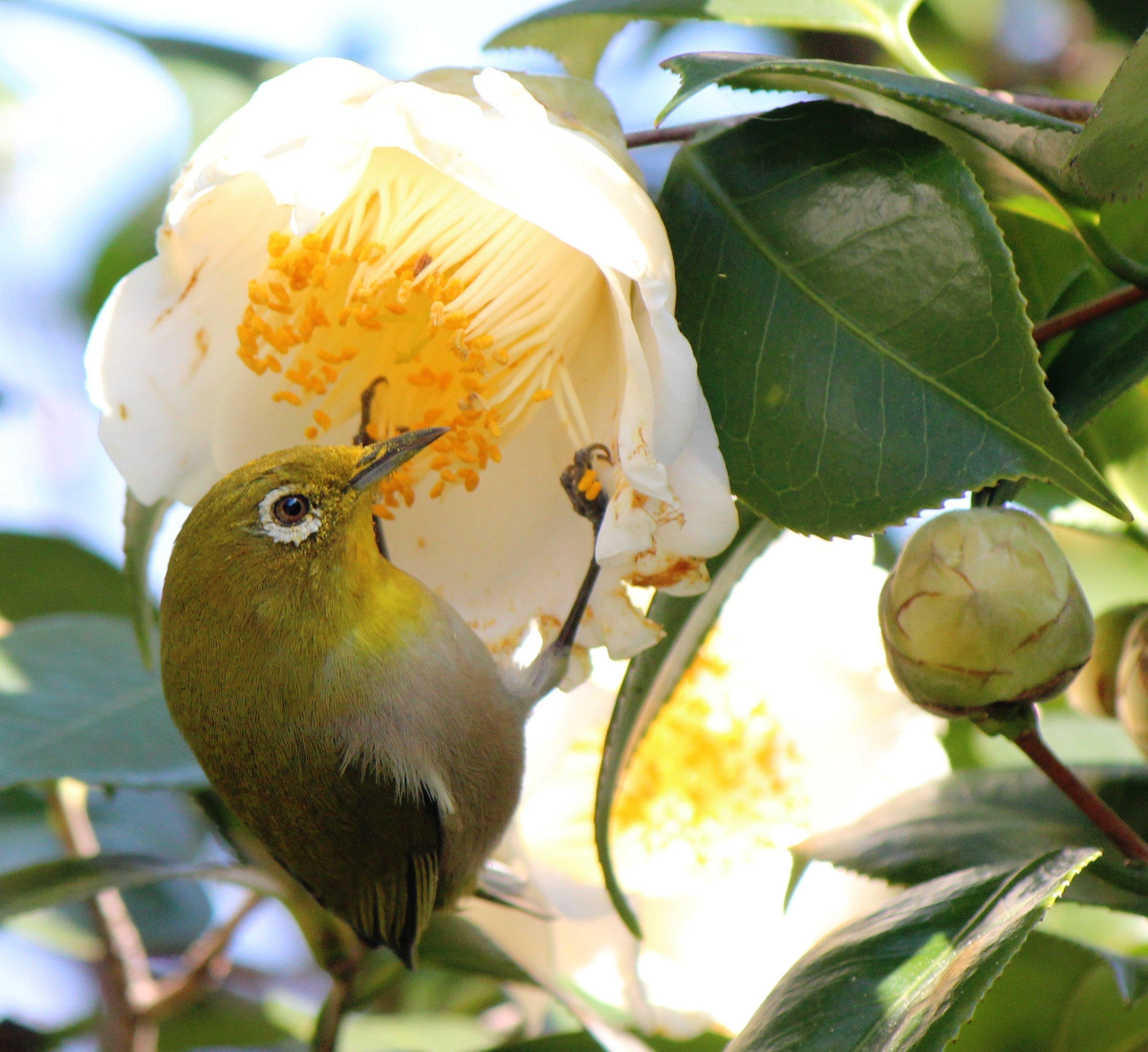 Zosterops japonicusとCamellia japonica.JPG