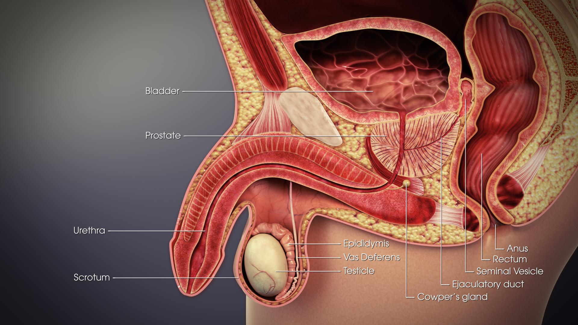 prostata wikipedia Androgének és krónikus prosztatitis