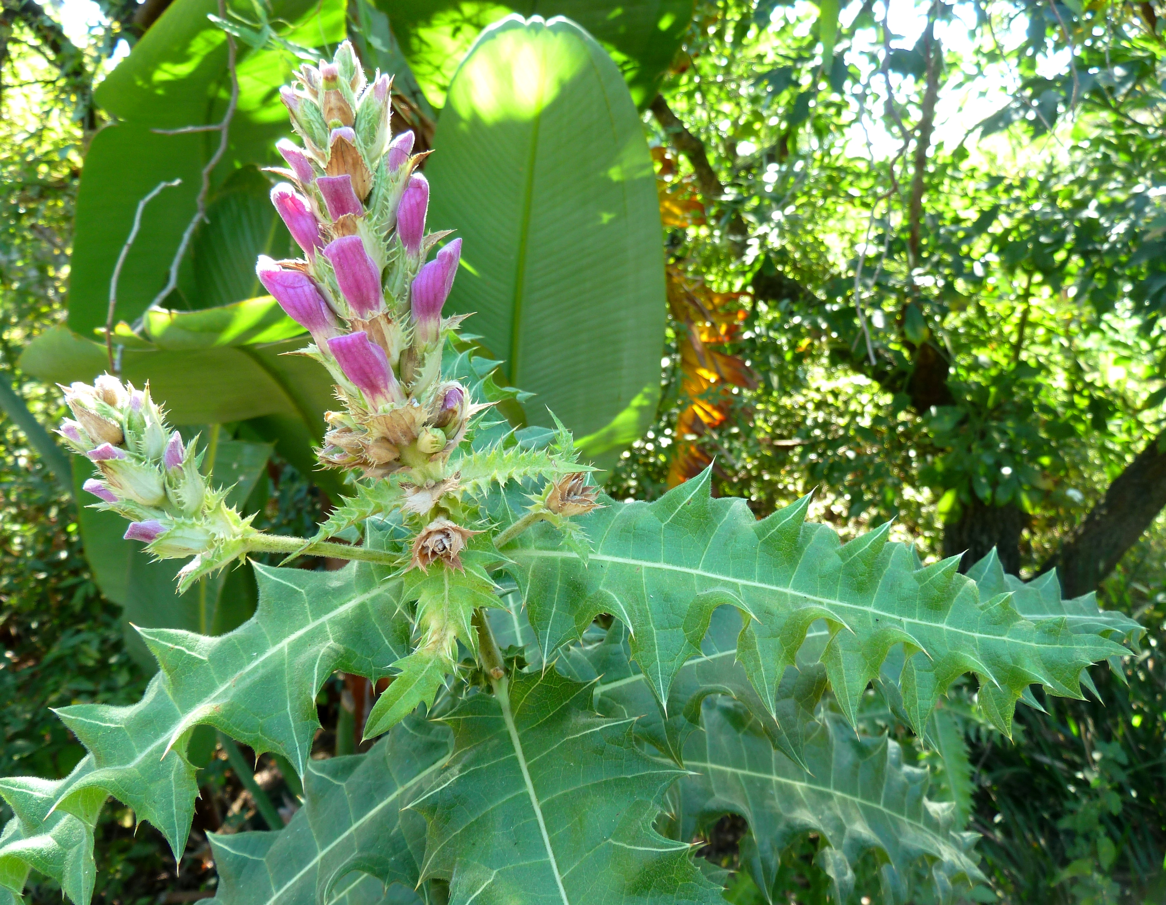Fileacanthus Pubescens Bloeiwyse Jan Celliers Park Cjpg