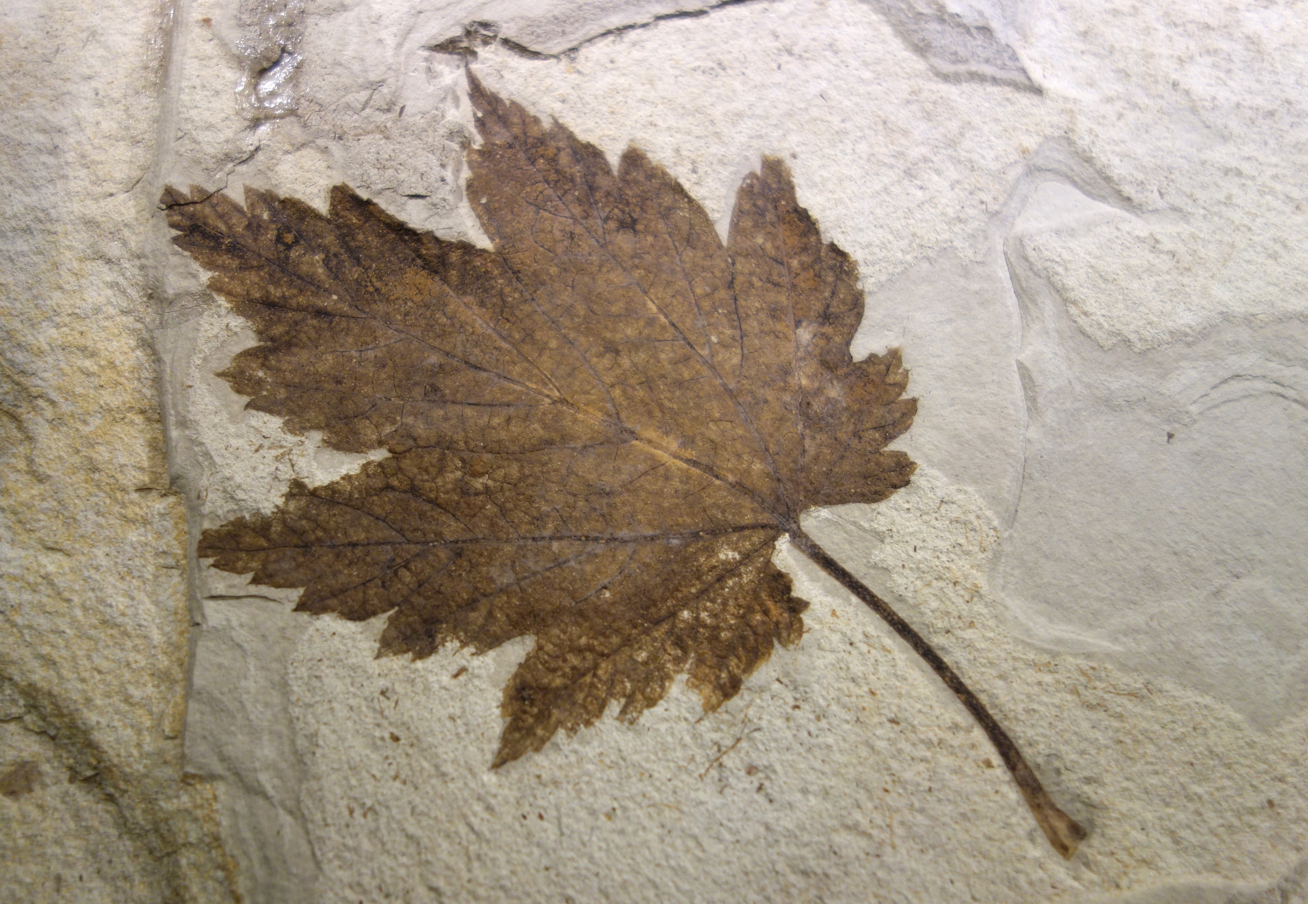 Fosili - Page 3 Acer_subukurunduense_%28fossil_leaf%29_-_National_Museum_of_Nature_and_Science%2C_Tokyo_-_DSC06789