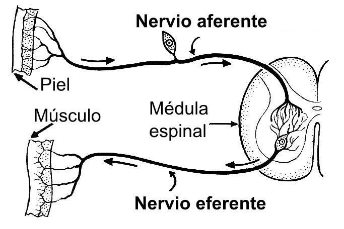 Depiction of Neurona eferente