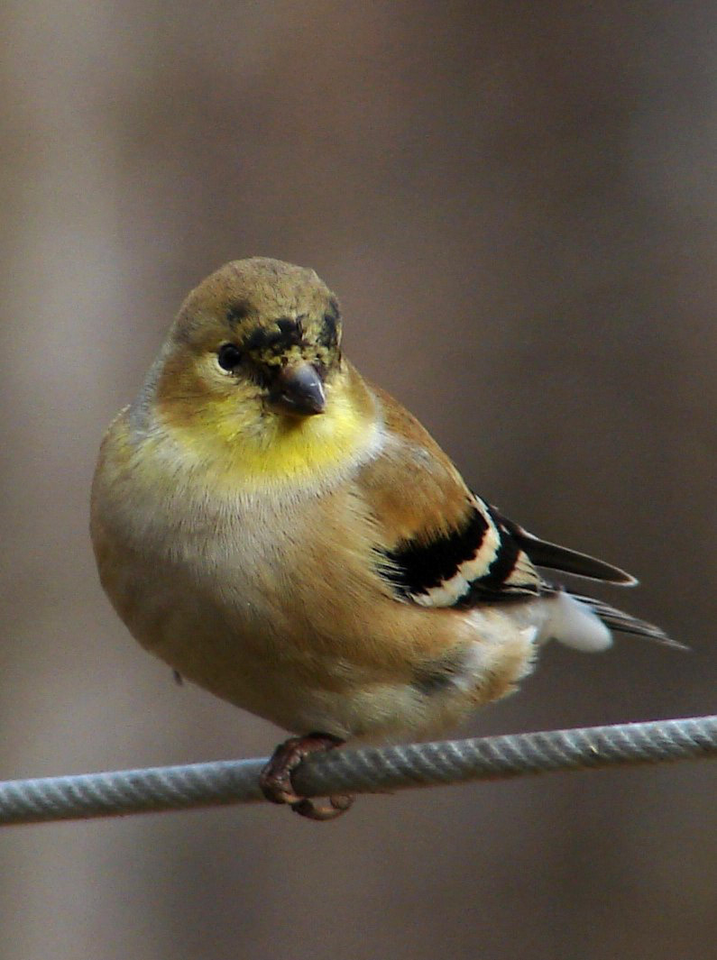 File:American goldfinch winter f.jpg