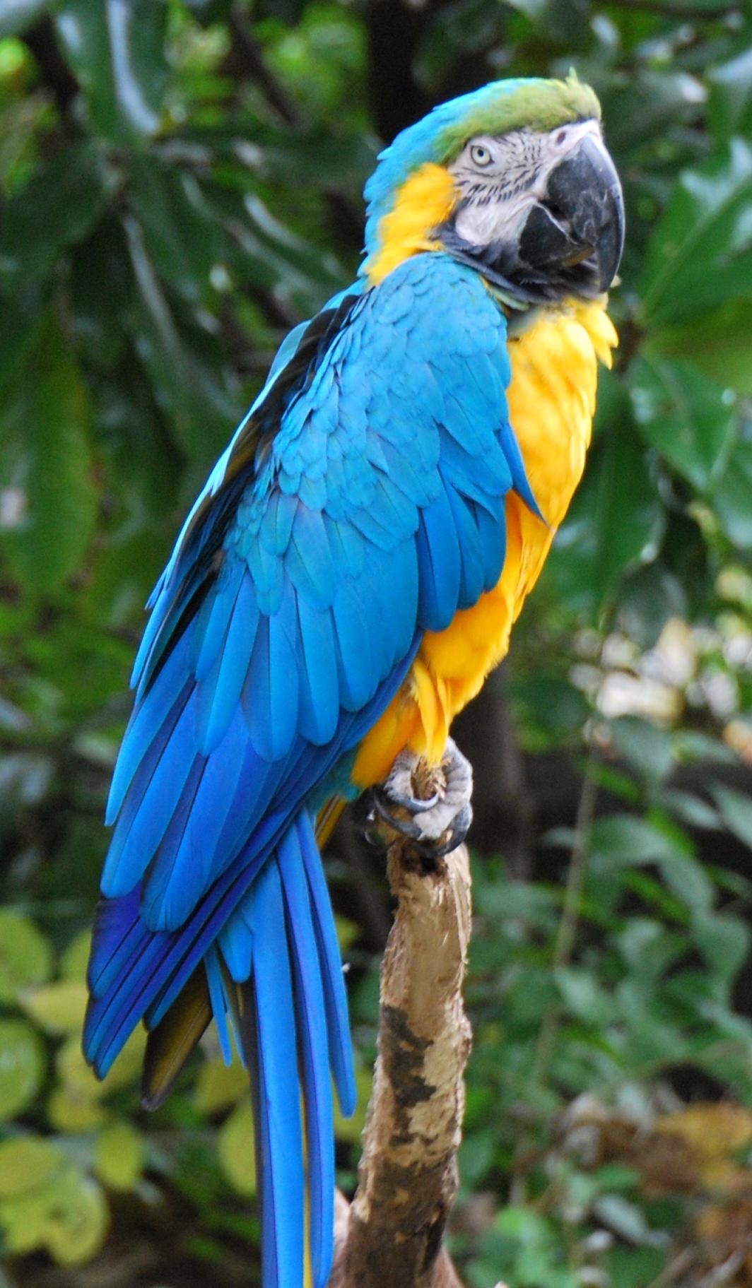 File ara ararauna cincinnati zoo wikimedia commons - Vendre des photos de star ...
