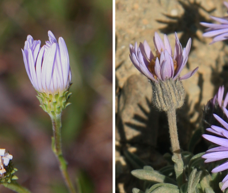 Fileaster vs daisy phyllariesg wikimedia commons fileaster vs daisy phyllariesg izmirmasajfo