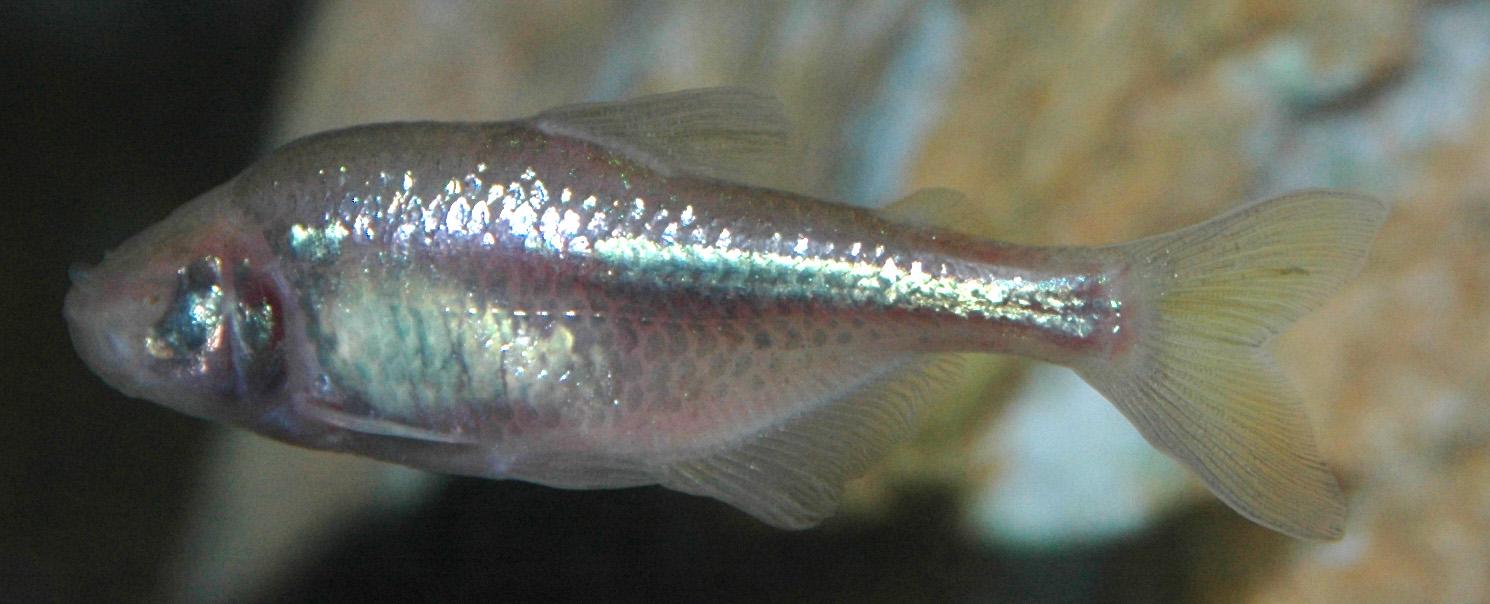 Astyanax Fish Wikipedia