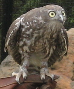 File:Barking owl 2.jpg