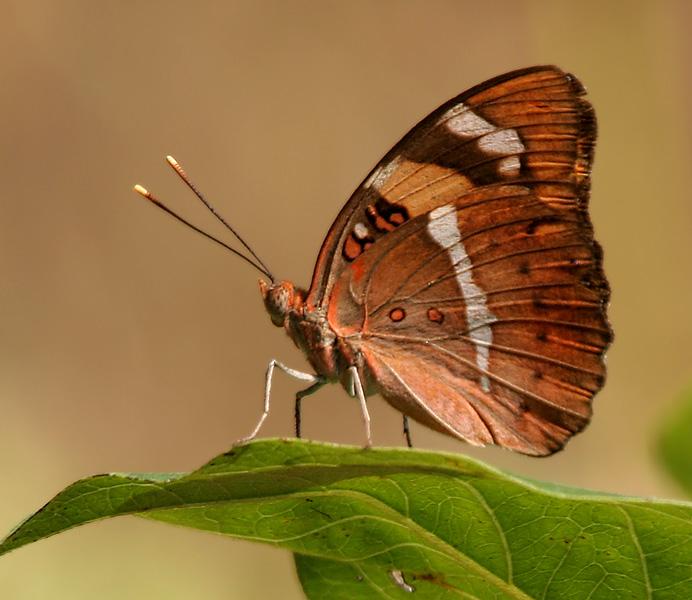 benci, rama-rama, butterfly, jangan benci, life cycle
