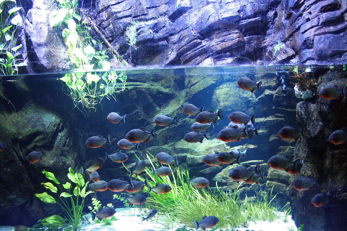 File bassin de pygocentrus wikimedia commons for Aquarium bassin