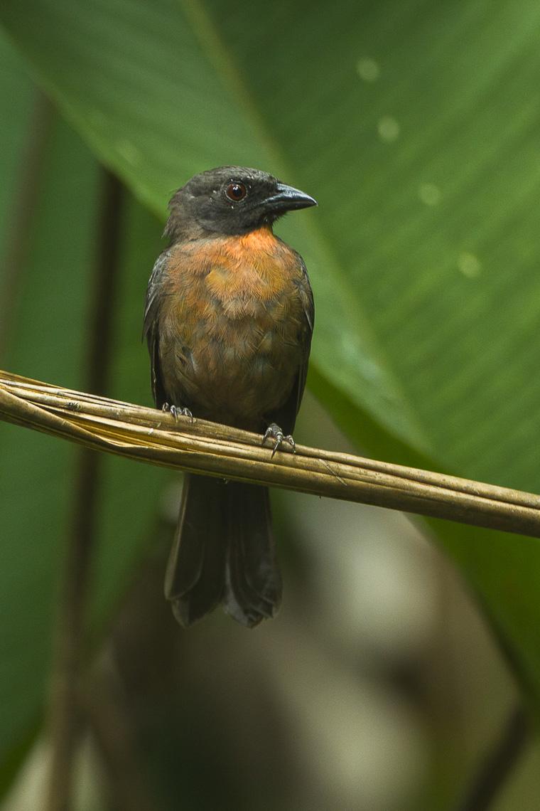 Black-cheeked Ant-Tanager - Rio Tigre - Costa Rica S4E9942 (26631235321).jpg