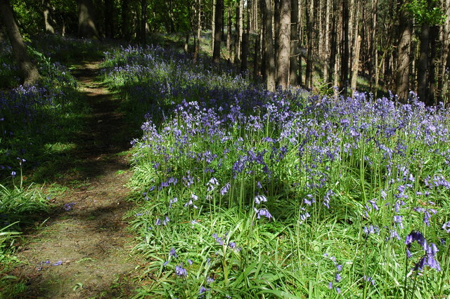 Bluebells in Fownhope Park Wood - geograph.org.uk - 1310212
