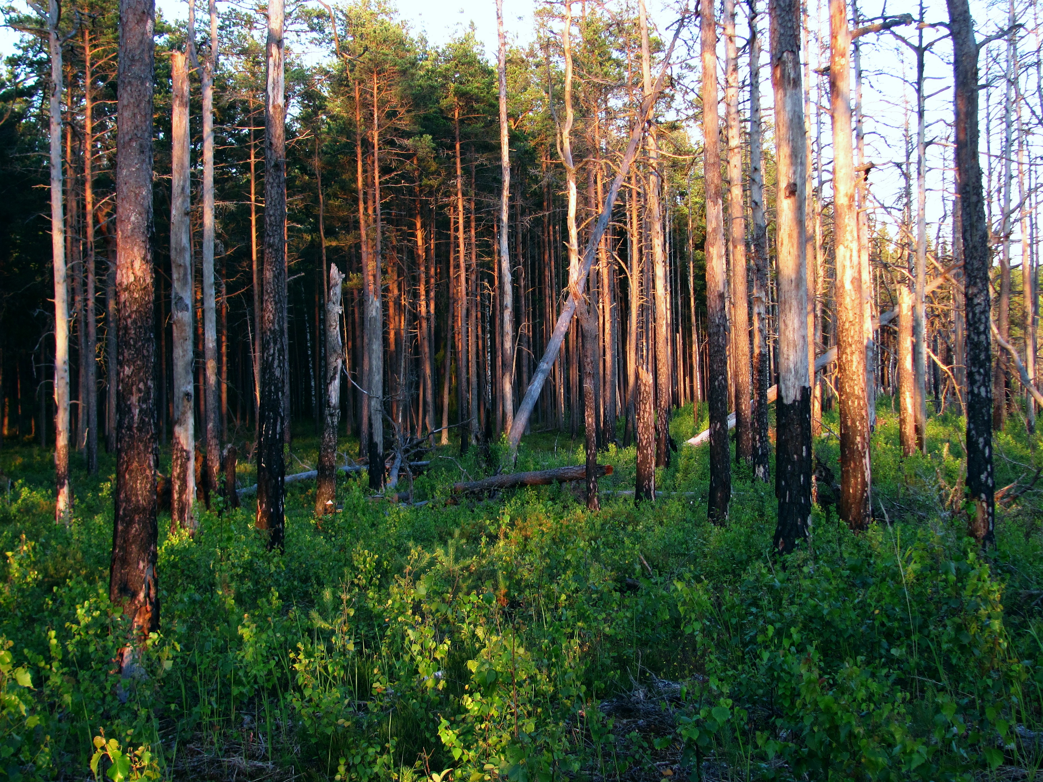 File:Boreal pine forest 7 years after fire, 2013-07.jpg ...