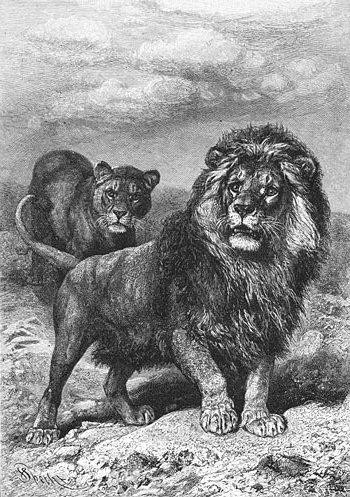 Brehms Het Leven der Dieren Zoogdieren Orde 4 Leeuw (Felis leo capensis)