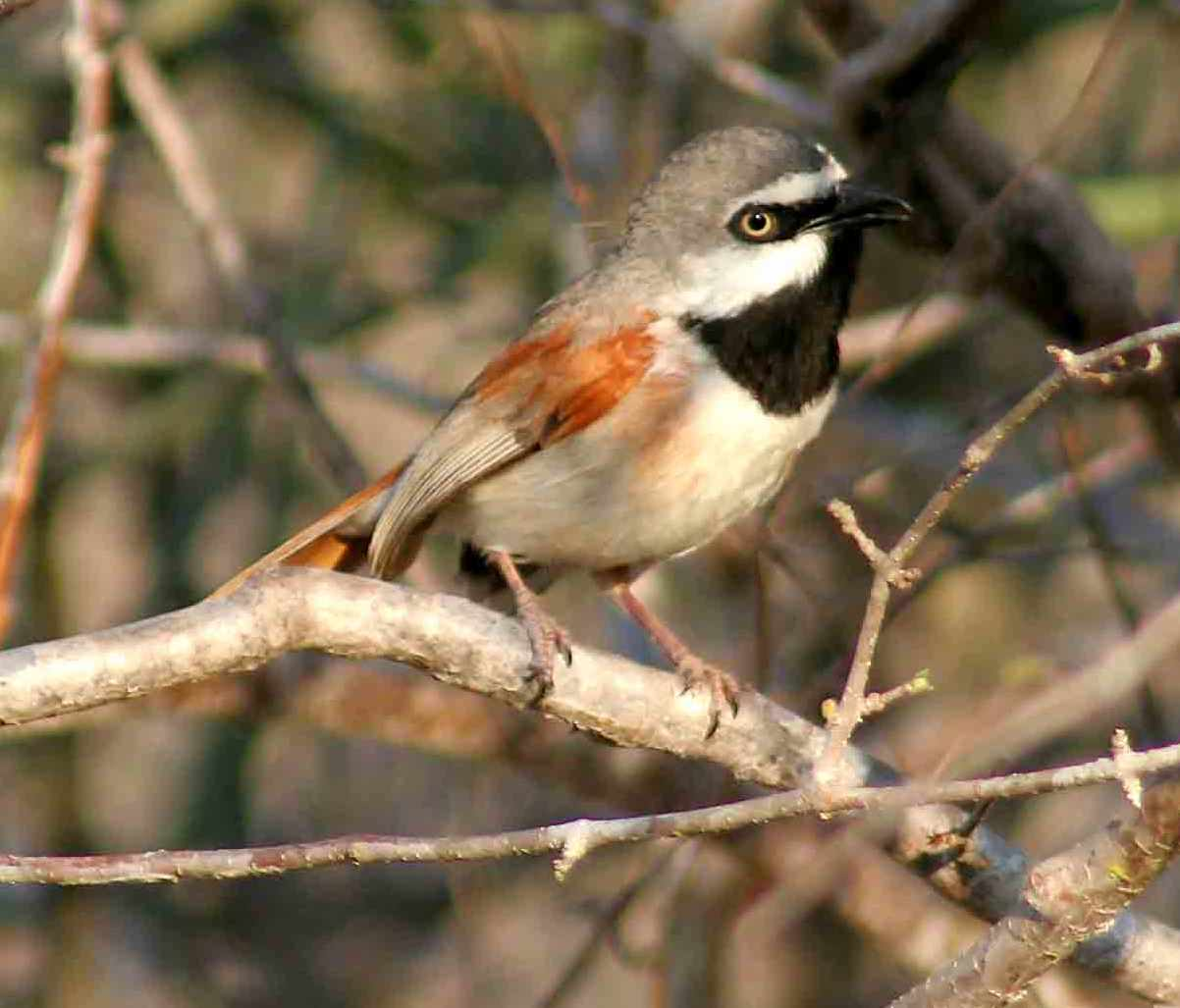 The red-shouldered vanga