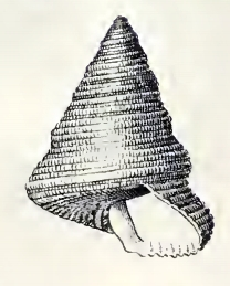Calliostoma roseolum 001.jpg