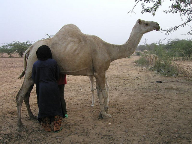Camel milking in Niger