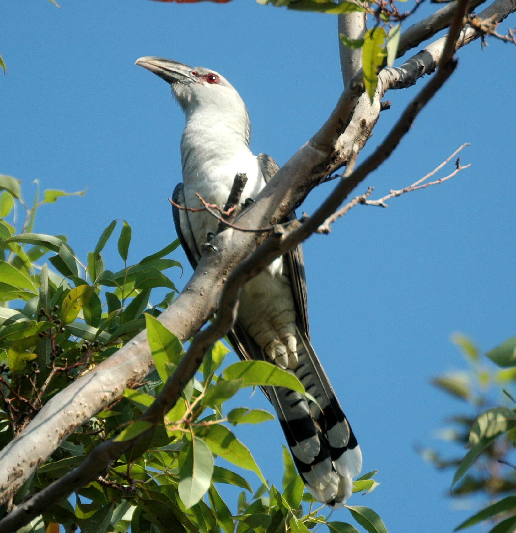 Cuckoos[edit] & List of birds of Australia - Wikipedia 25forcollege.com