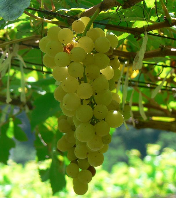 Wikipedia: chenin blanc grapes