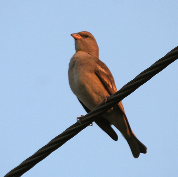 فایل:Chestnut-shouldered Petronia (Petronia xanthocollis) at Sindhrot near Vadodara, Gujrat Pix 248.jpg