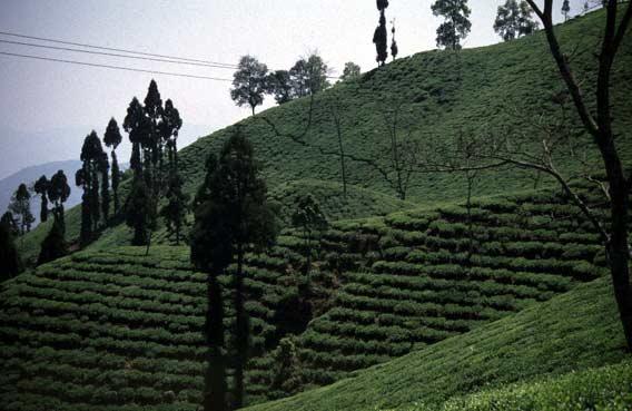 Darjeeling-tee.jpg