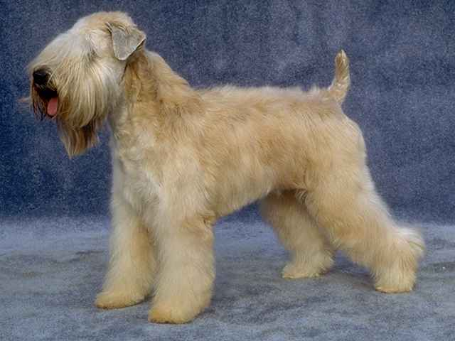 Dog2wheaten.jpg