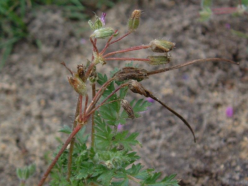 Bec de héron Erodium_cicutarium02