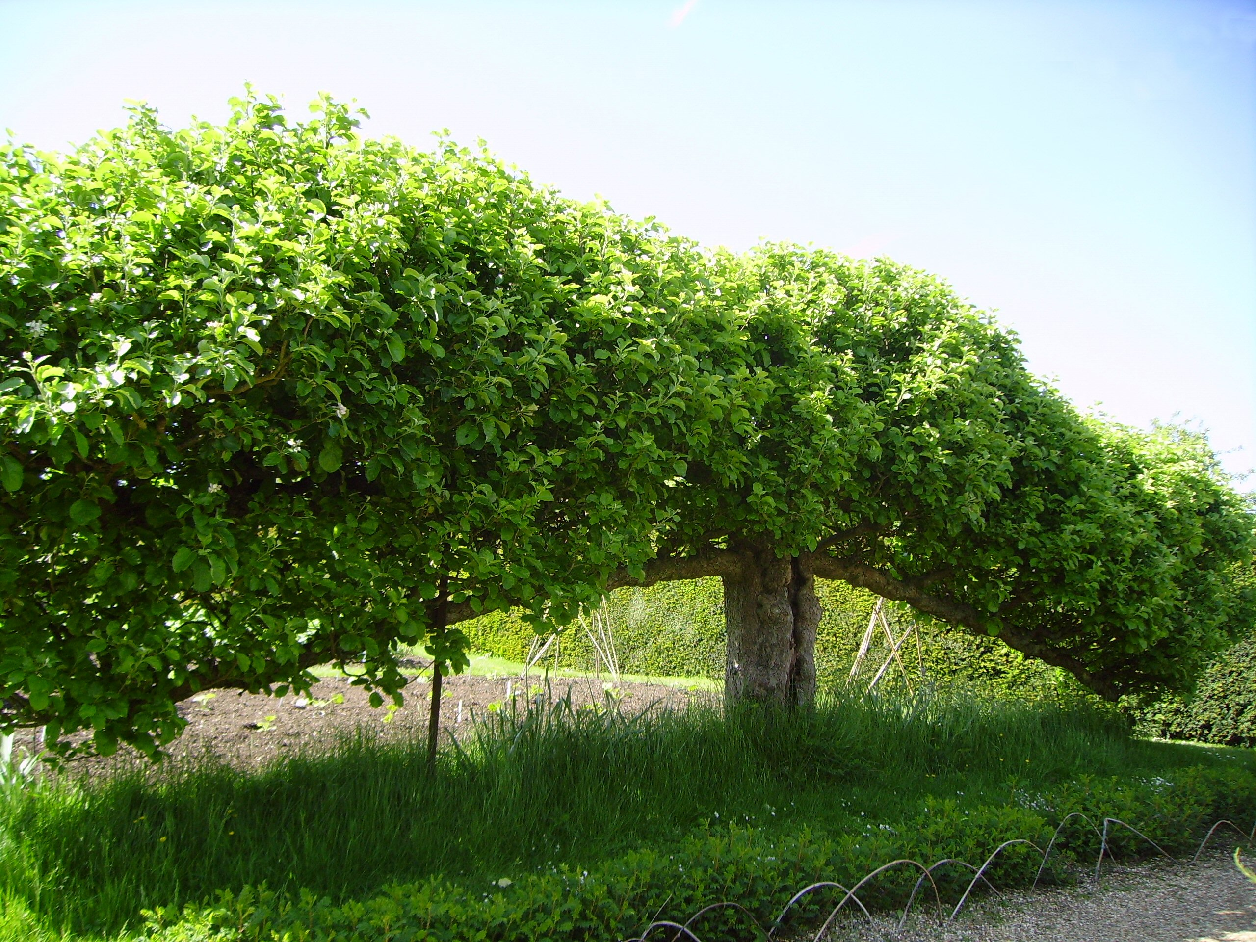 File espalier fruit tree at standen west sussex england for Fruit trees