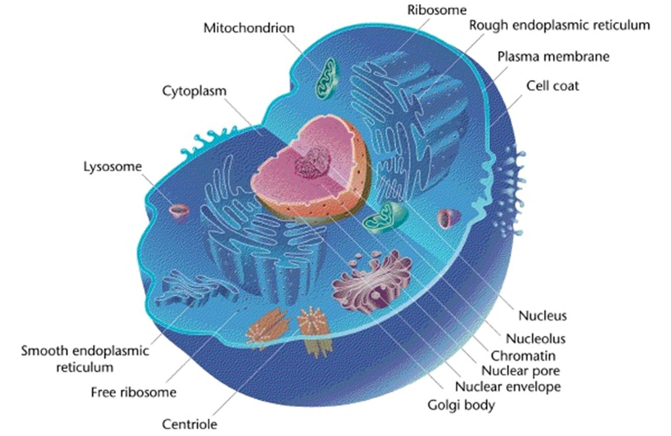 Basic Eukaryotic Animal Cell Diagram Wiring Diagrams Plant This Is A File Labeled