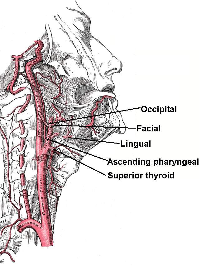 File:External maxillary artery branches.png - Wikimedia Commons