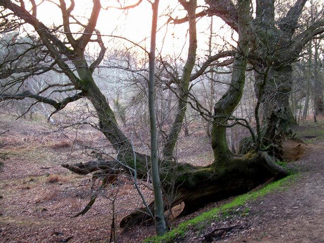 Fallen tree, Rendlesham forest - geograph.org.uk - 1229543