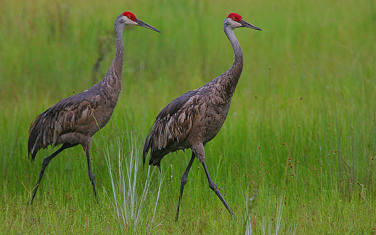 Файл:Flickr - Rainbirder - Sandhill Crane (Grus canadensis) pair in the rain.jpg