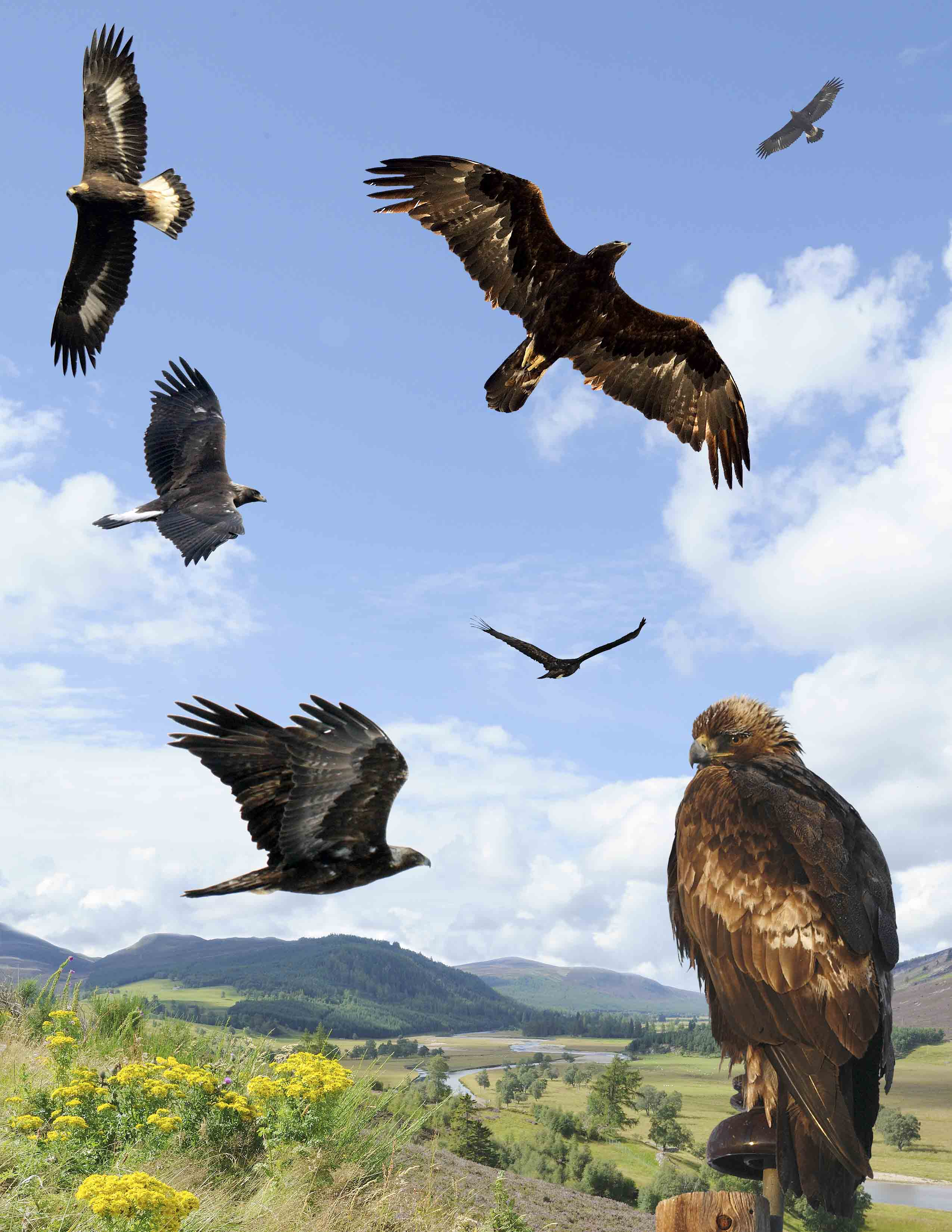 File:Golden Eagle from the Crossley ID Guide Britain and Ireland.jpg ...