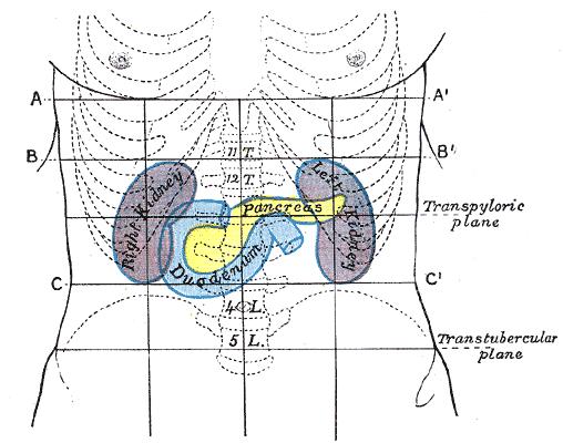 Njurarnas placering i kroppen.
