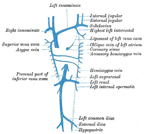 accessory hemiazygos vein - wikipedia, Human Body