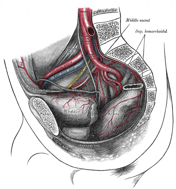 External iliac artery - Wikiwand