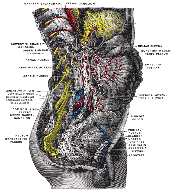 Lumbar Ganglia Wikiwand