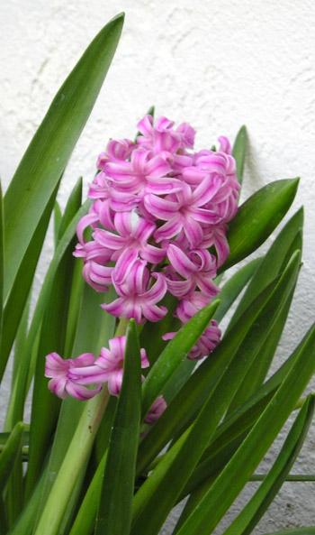 קובץ:HyacinthPink.jpg