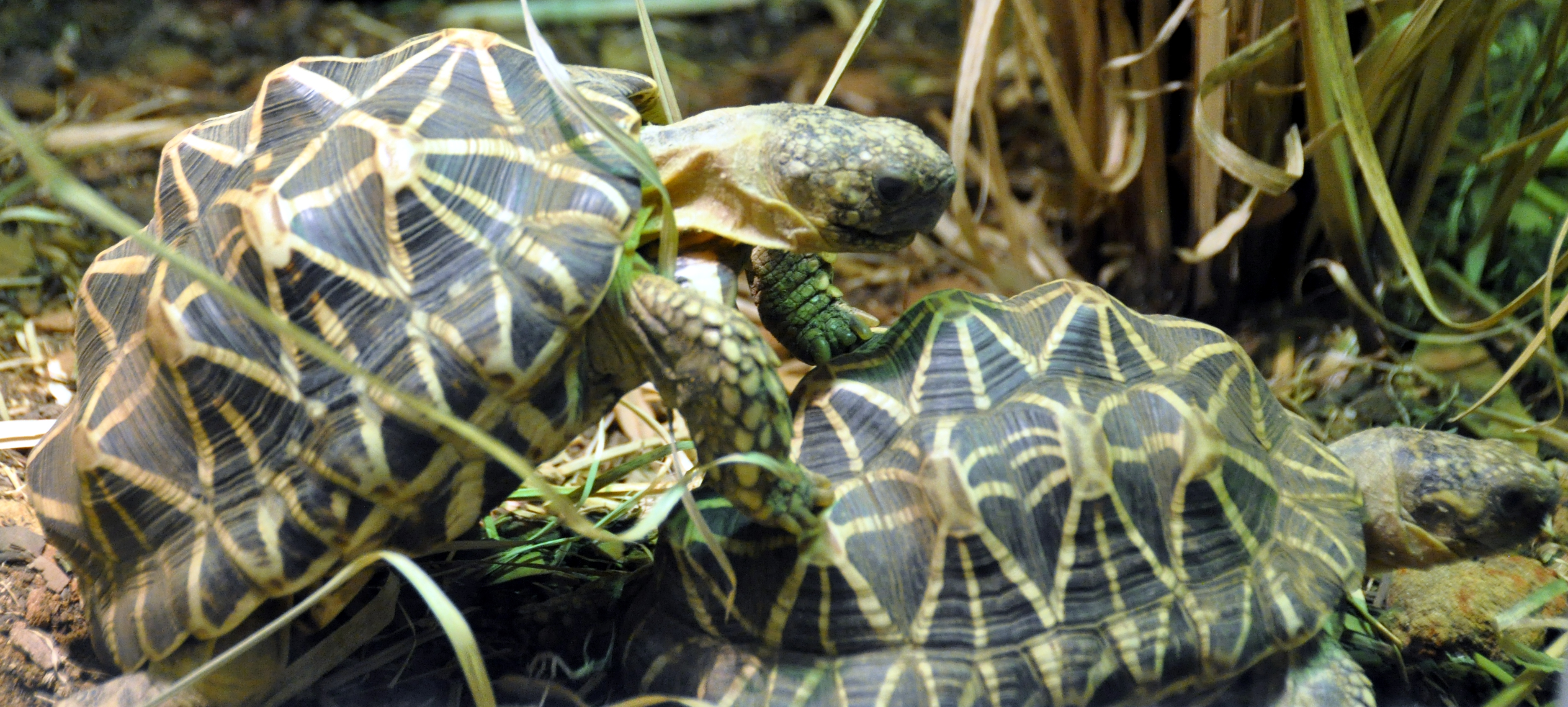 Description indian star tortoises