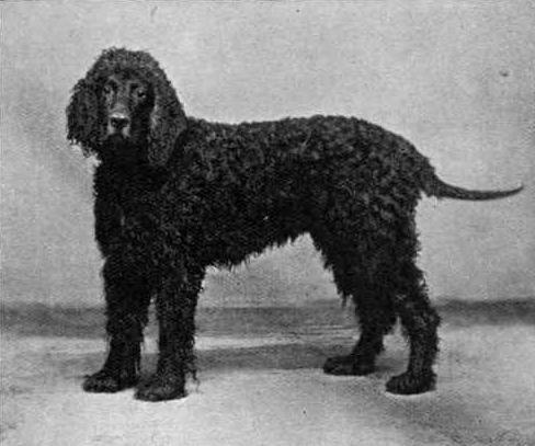 Irish Water Spaniel Shamus O'Flynn 1903.jpg