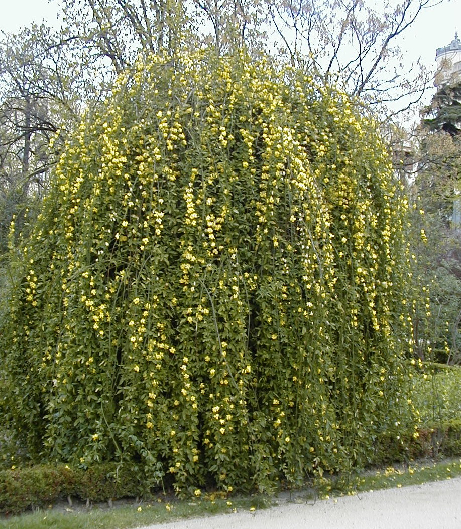 http://upload.wikimedia.org/wikipedia/commons/3/3e/Jasminum_mesnyi4.jpg