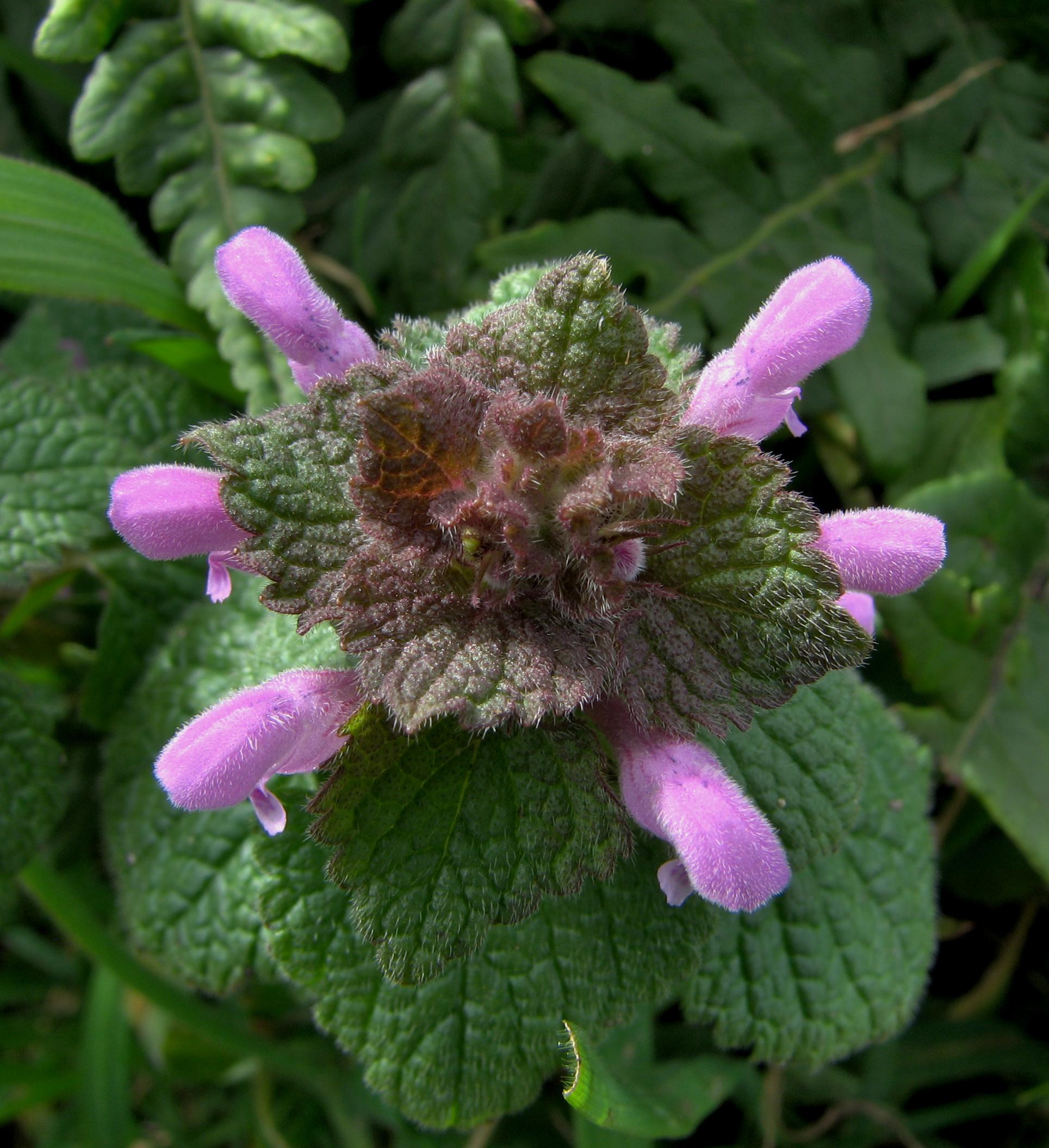 Lamium purpureum, Red Dead-nettle: identification, distribution ...