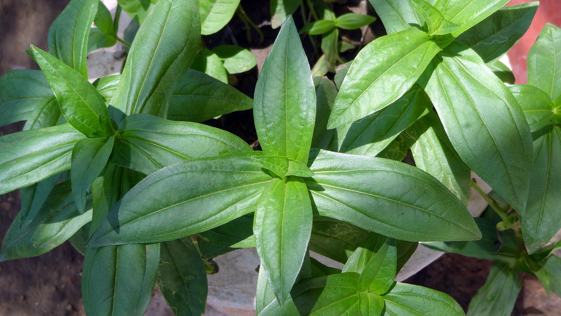 Arrangement Flowers File Leaves Of Zinnia Flower In Jaffna Jpg Wikimedia Commons
