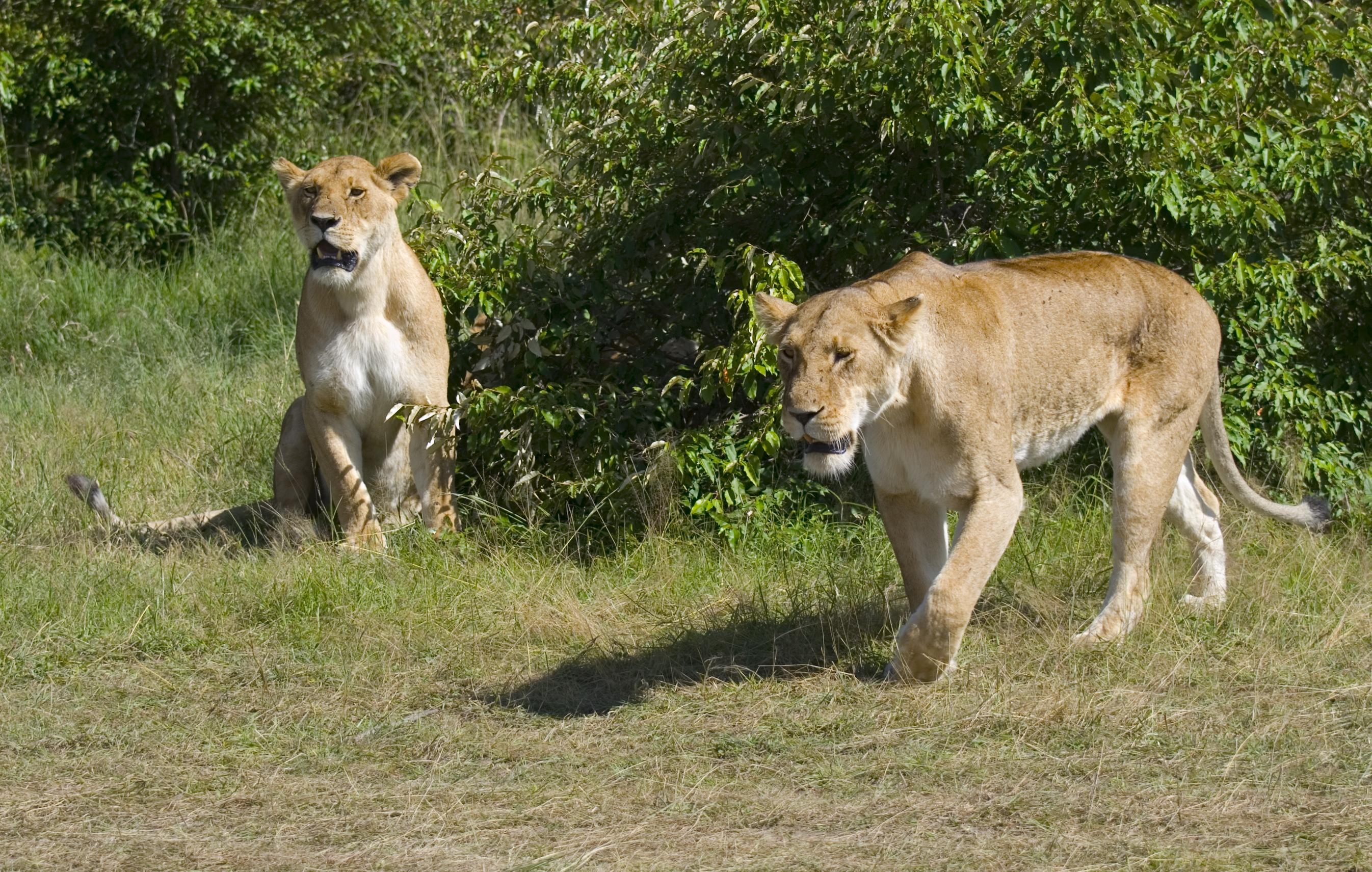 Zwei Löwenweibchen im Masai-Mara-Wildreservat