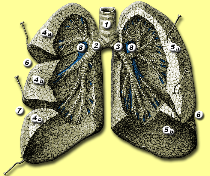 Filelungs Anatomyg Wikimedia Commons