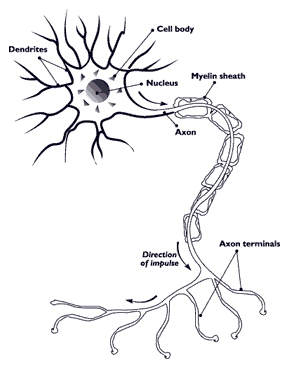 Nerve axon with myelin sheath