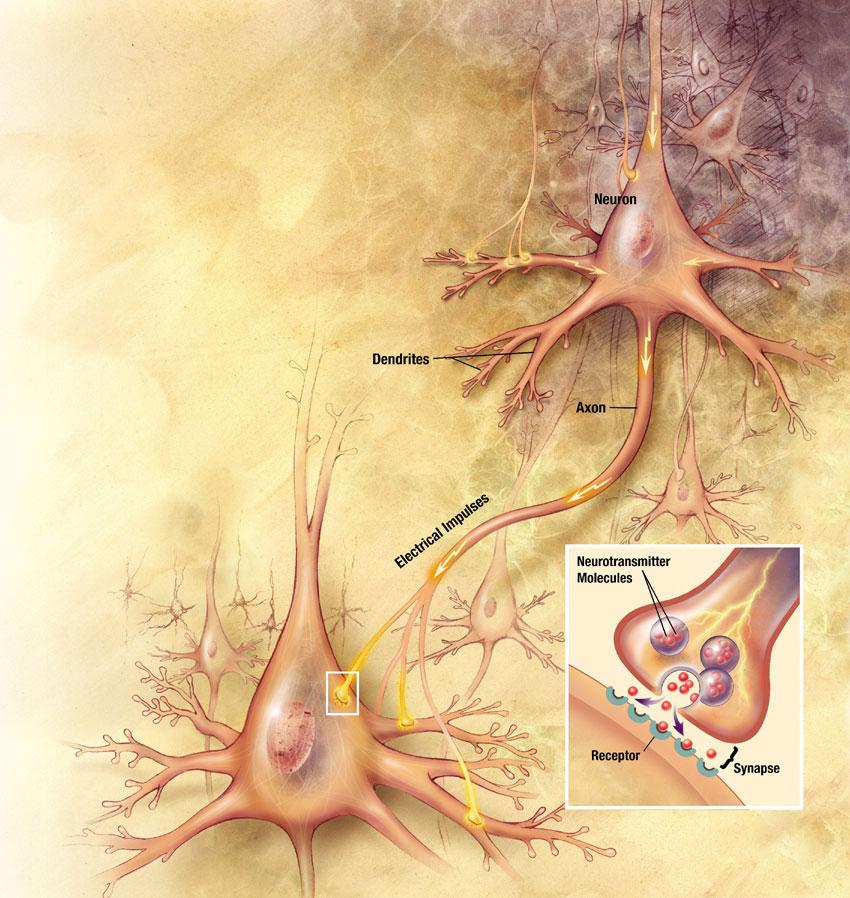 Οι νευρώνες στον εγκέφαλό μας