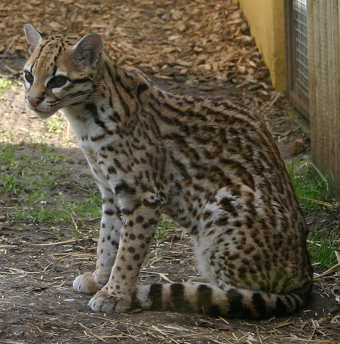 Description Ocelot Marwell Zoo jpgOcelots Eating